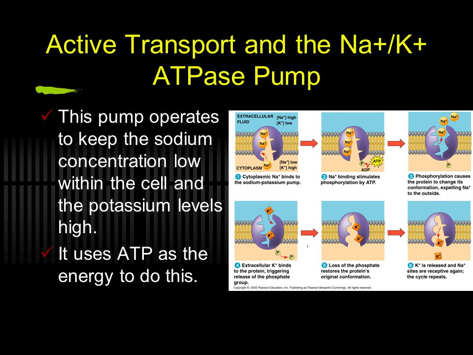 Active Transport and the Na+/K+ ATPase Pump This pump operates to keep the sodium concentration low within the cell and the potassium levels high.