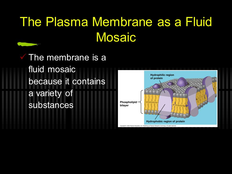 The Plasma Membrane as a Fluid Mosaic The membrane is a fluid mosaic because it contains a variety of substances