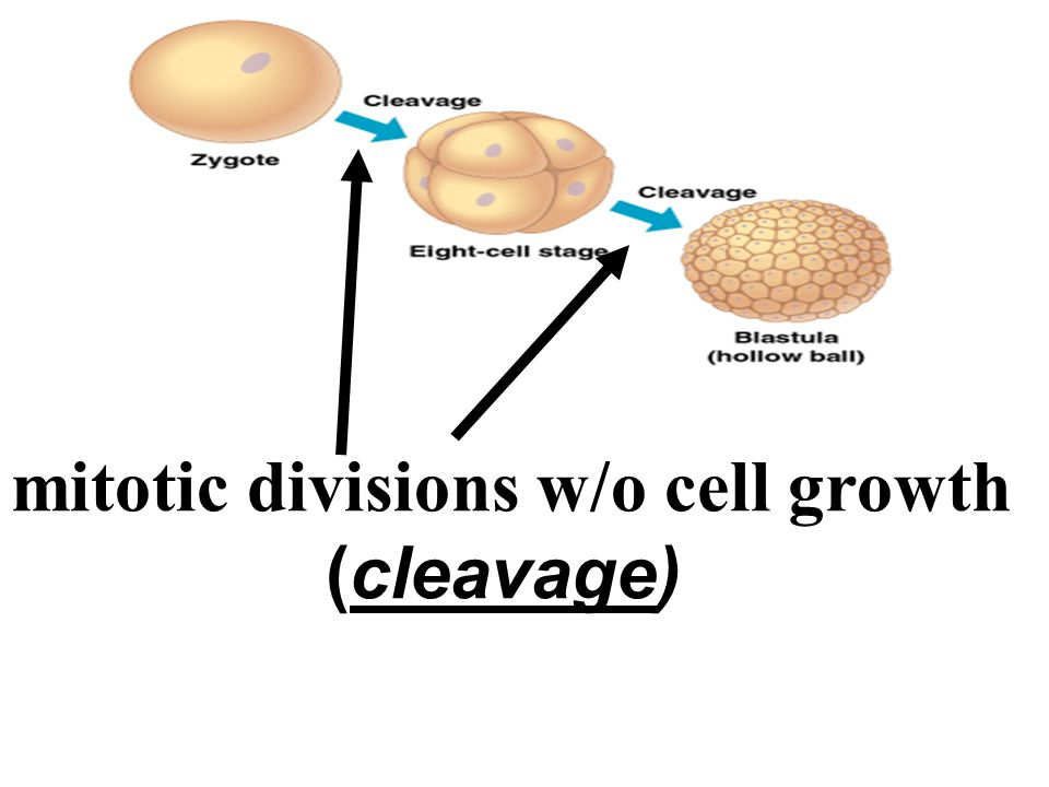 mitotic divisions w/o cell growth (cleavage)