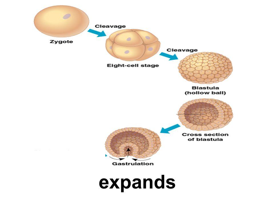 expands