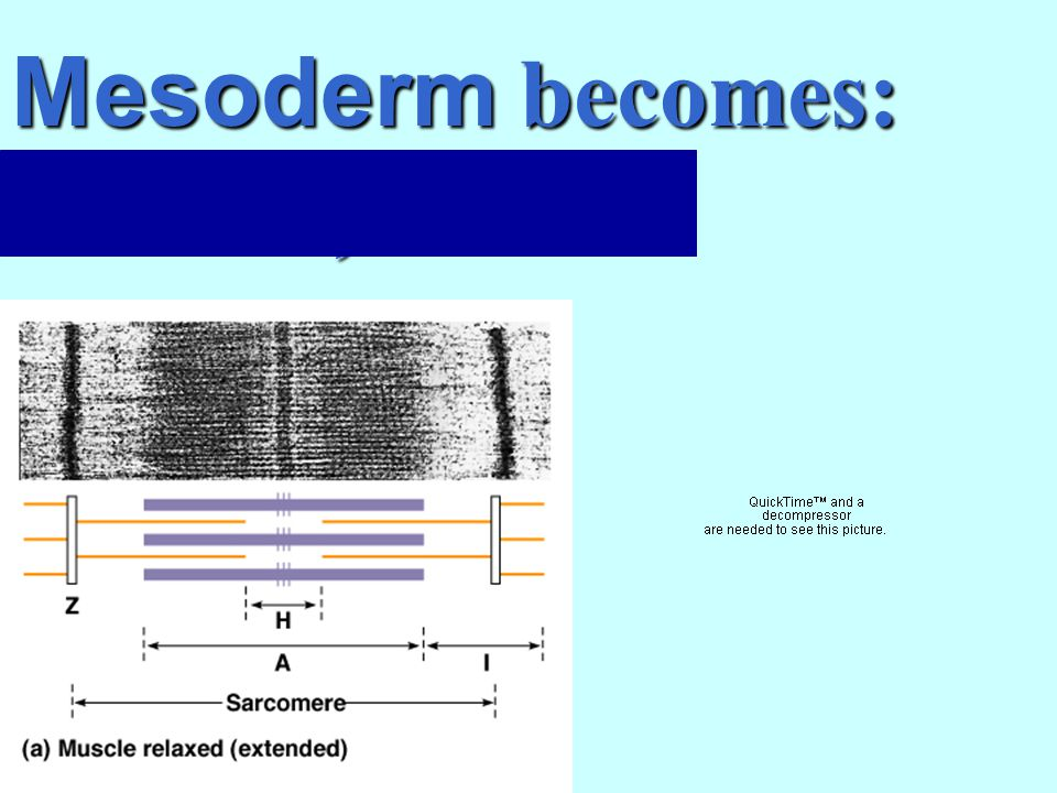 Mesoderm becomes: muscles, blood