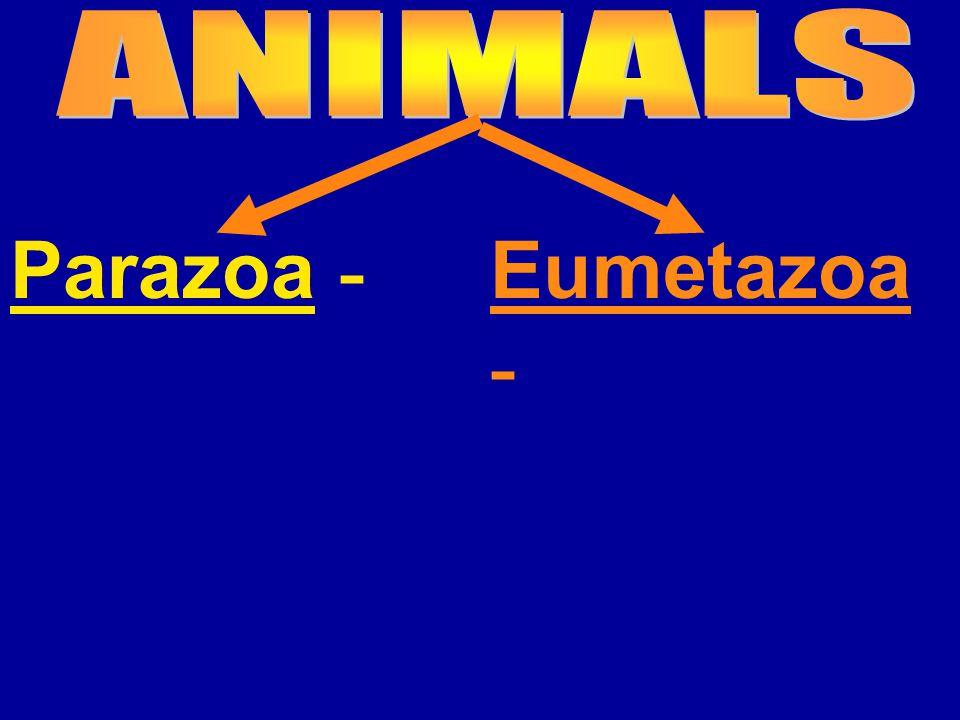Eumetazoa -