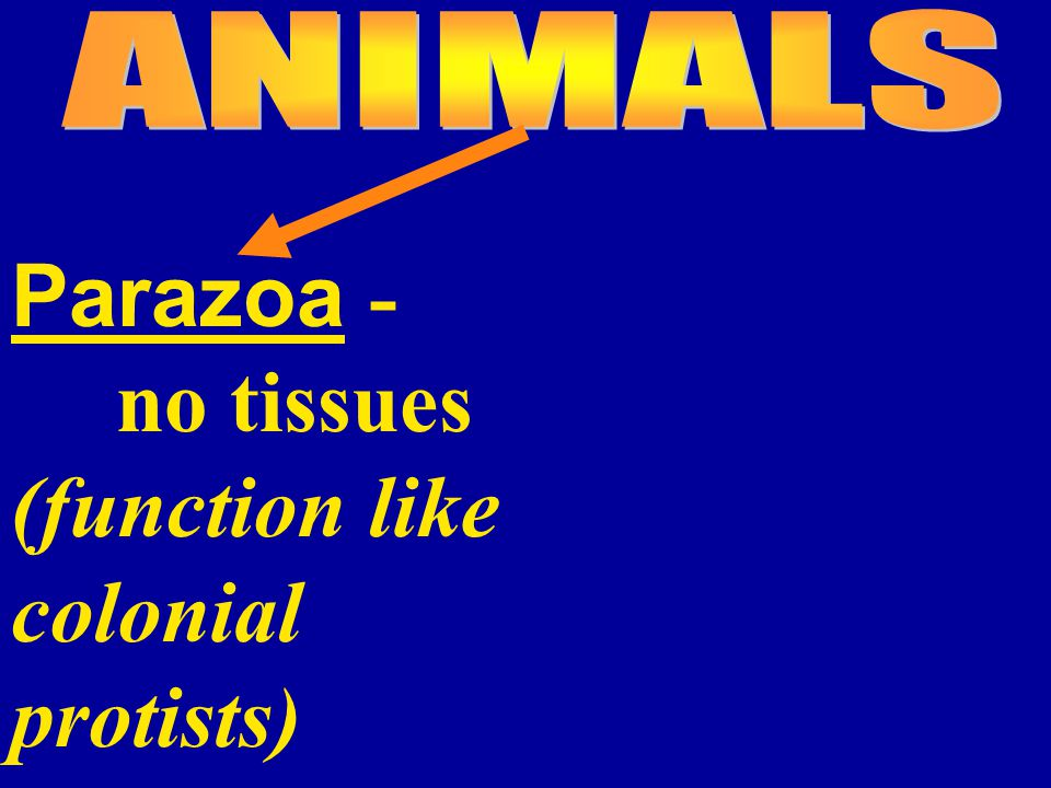 Parazoa - no tissues (function like colonial protists)
