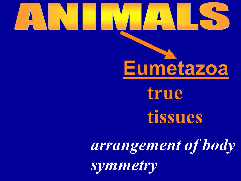 Eumetazoa true tissues arrangement of body symmetry
