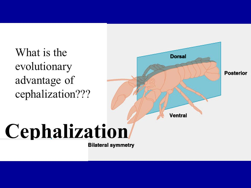 What is the evolutionary advantage of cephalization