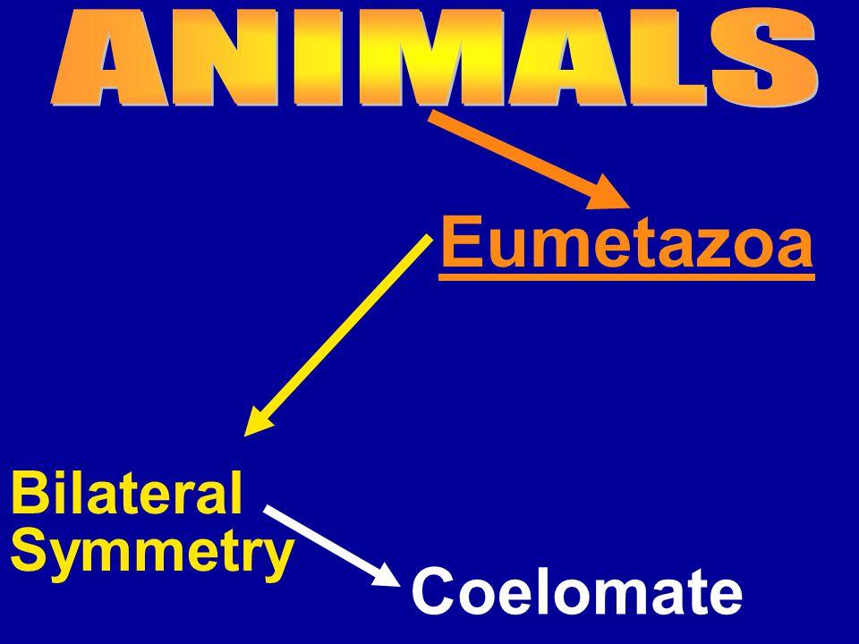 Eumetazoa Bilateral Symmetry Coelomate