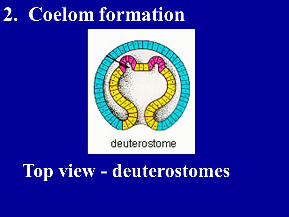 2. Coelom formation Top view - deuterostomes