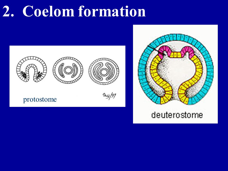 2. Coelom formation protostome