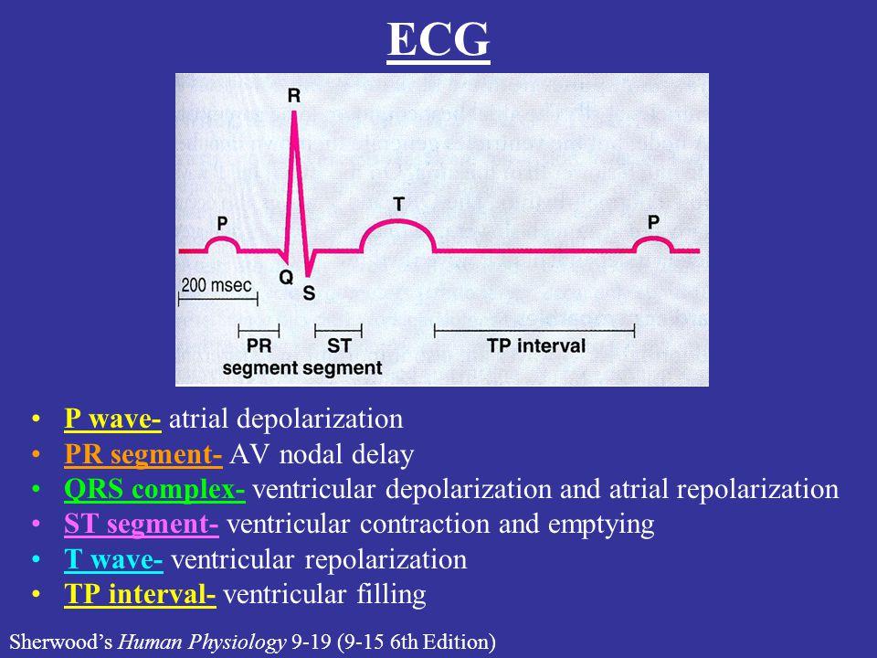 ECG P wave- atrial depolarization PR segment- AV nodal delay QRS complex- ventricular depolarization and atrial repolarization ST segment- ventricular