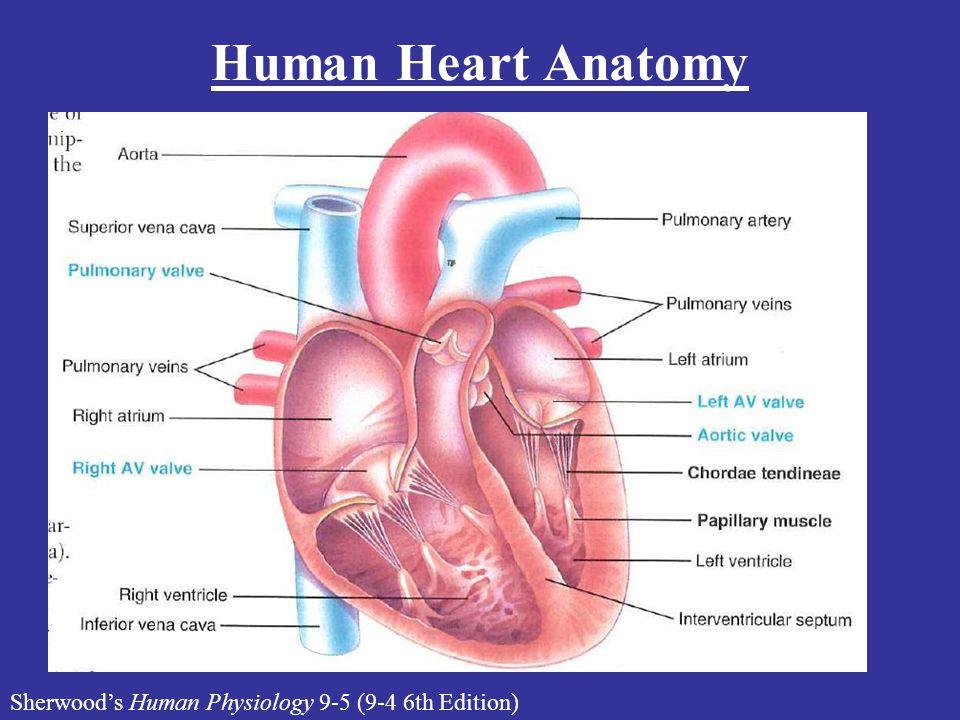 Sherwood's Human Physiology 9-5 (9-4 6th Edition) Human Heart Anatomy