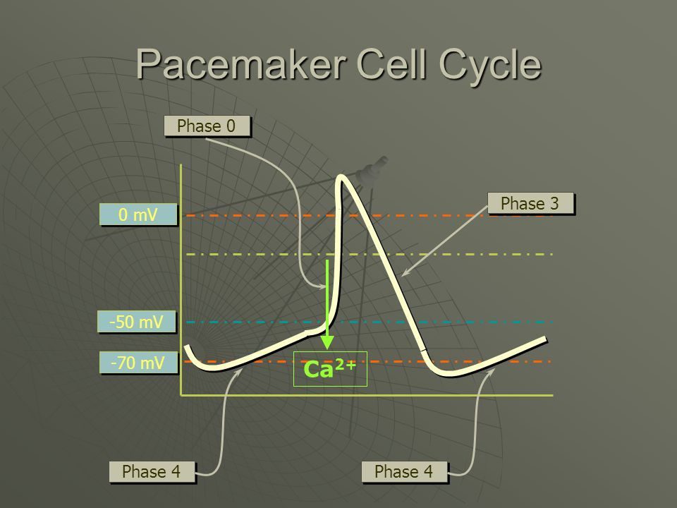 Pacemaker Cell Cycle 0 mV -70 mV -50 mV Phase 0 Phase 3 Phase 4 Ca 2+