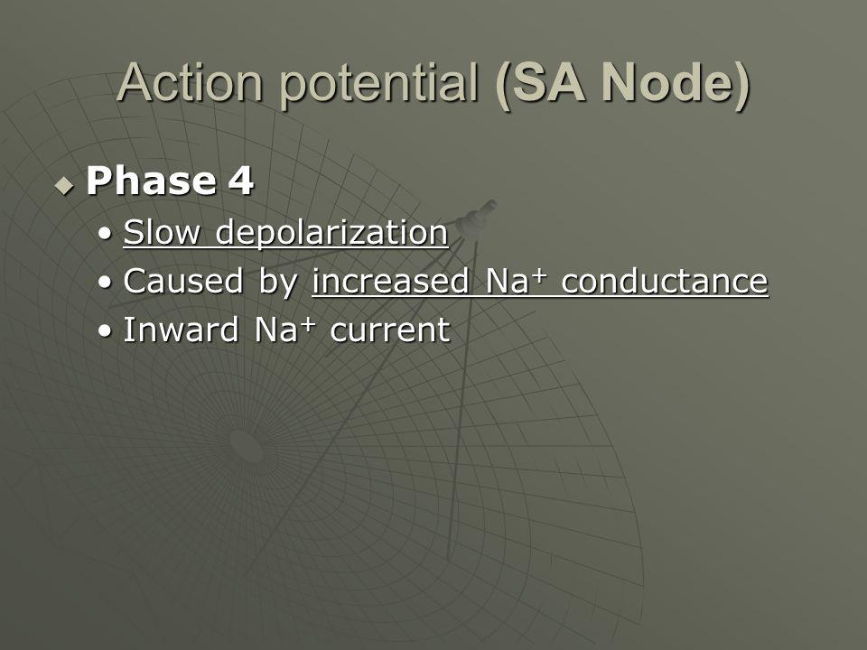 Action potential (SA Node)  Phase 4 Slow depolarizationSlow depolarization Caused by increased Na + conductanceCaused by increased Na + conductance I