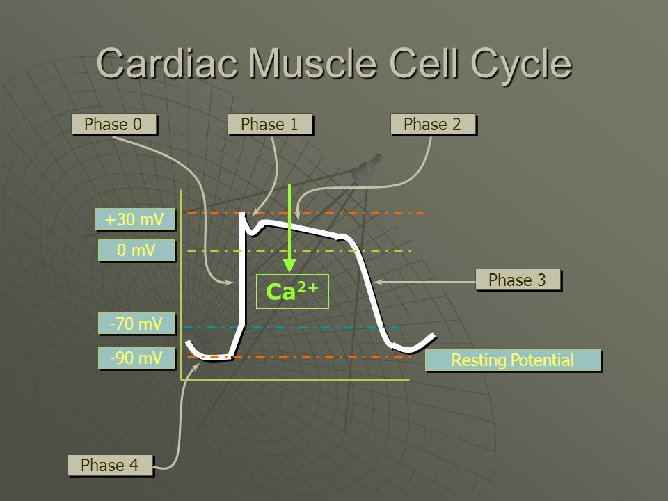 Cardiac Muscle Cell Cycle Resting Potential -90 mV 0 mV +30 mV -70 mV Phase 0 Phase 1 Phase 2 Phase 3 Phase 4 Ca 2+