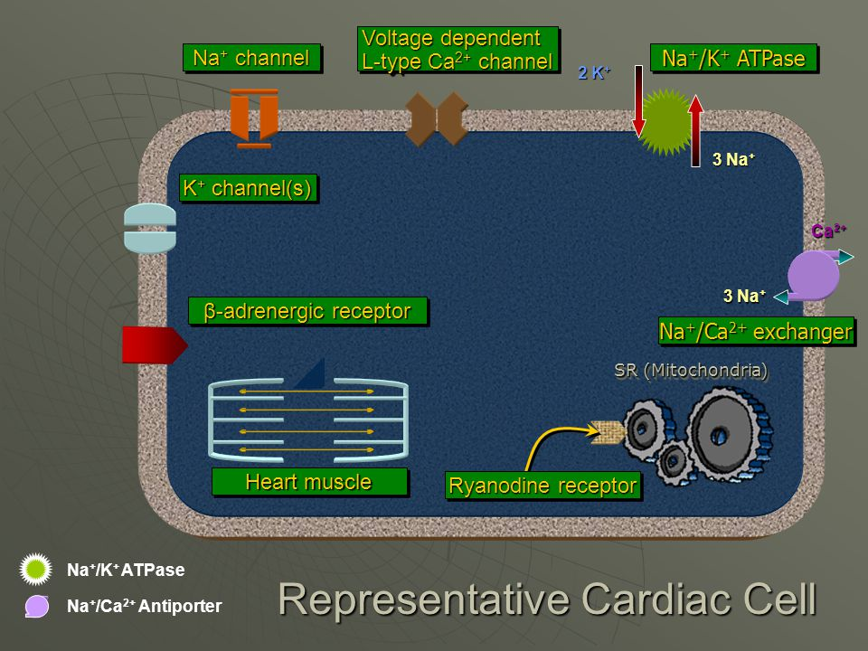 Na + /K + ATPase 3 Na + 2 K + Representative Cardiac Cell Na + channel Voltage dependent L-typeCa 2+ channel L-type Ca 2+ channel Voltage dependent L-typeCa 2+ channel L-type Ca 2+ channel Na + /K + ATPase Na + /Ca 2+ exchanger SR (Mitochondria) Heart muscle K + channel(s) Na + /Ca 2+ Antiporter Ryanodine receptor 3 Na + Ca 2+ β-adrenergic receptor