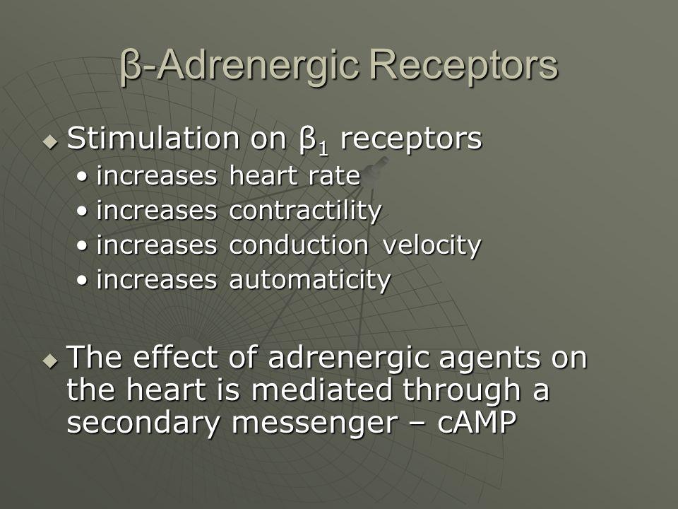 β-Adrenergic Receptors  Stimulation on β 1 receptors increases heart rateincreases heart rate increases contractilityincreases contractility increase