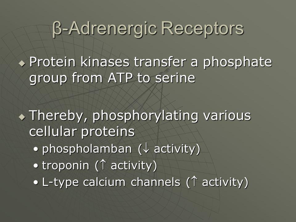 β-Adrenergic Receptors  Protein kinases transfer a phosphate group from ATP to serine  Thereby, phosphorylating various cellular proteins phospholam