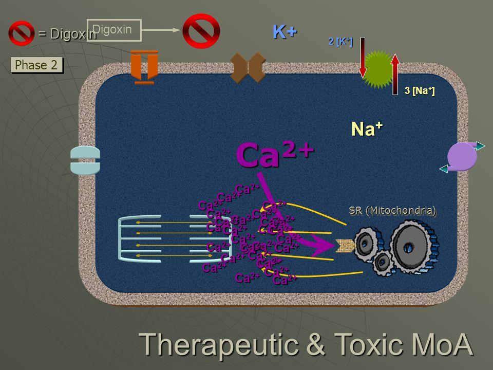 3 [Na + ] 2 [K + ] Therapeutic & Toxic MoA SR (Mitochondria) Ca 2+ Phase 2 Ca 2+ = Digoxin Ca 2+ Digoxin Na + K+