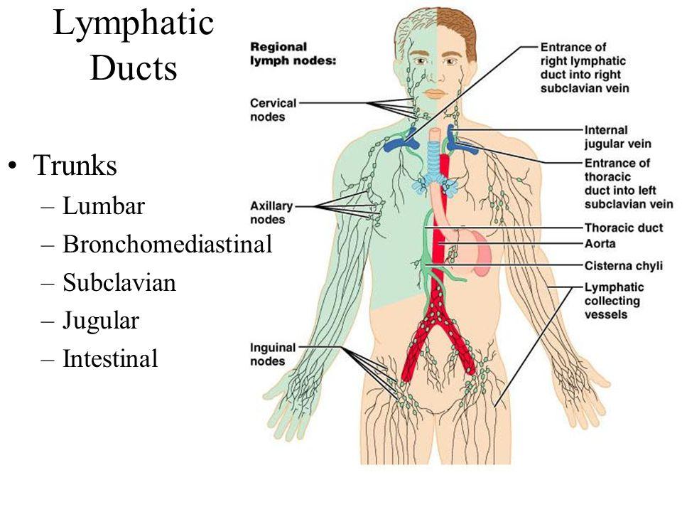 Lymphatic Ducts Trunks –Lumbar –Bronchomediastinal –Subclavian –Jugular –Intestinal