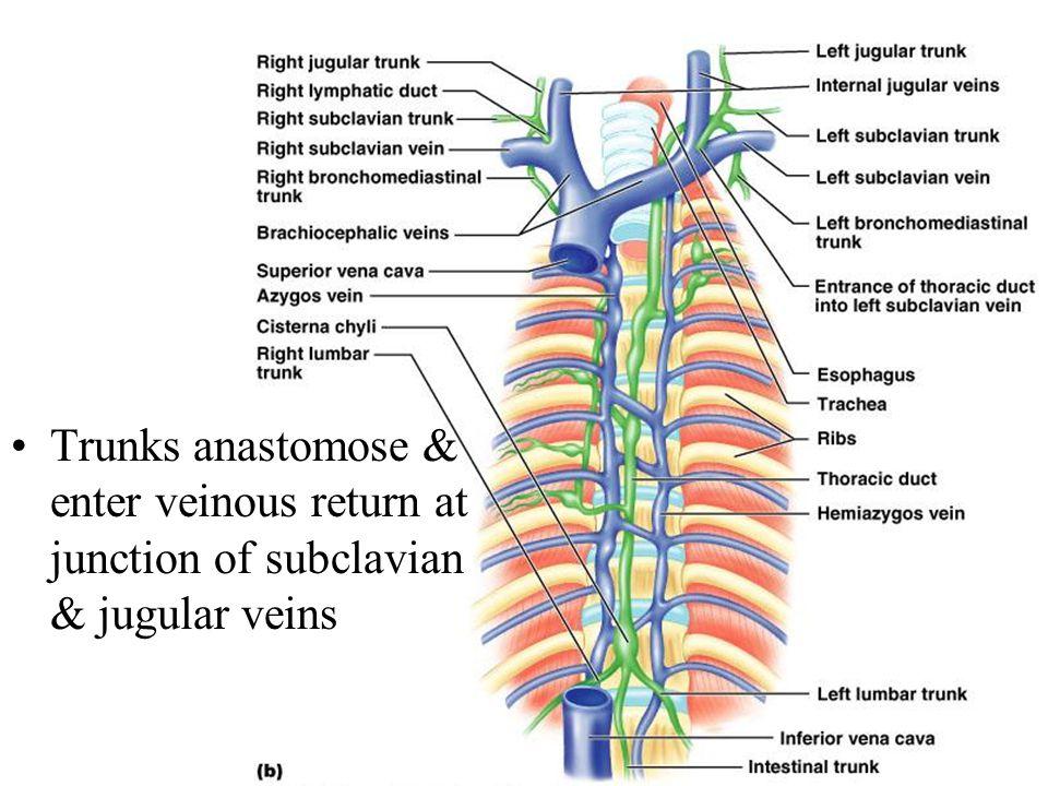 Trunks anastomose & enter veinous return at junction of subclavian & jugular veins