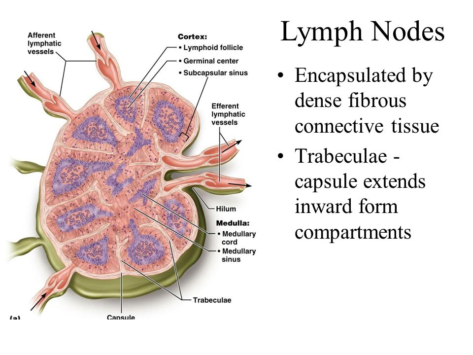 Lymph Nodes Encapsulated by dense fibrous connective tissue Trabeculae - capsule extends inward form compartments