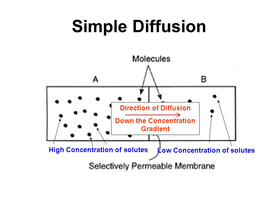 Simple Diffusion High Concentration of solutes Low Concentration of solutes Direction of Diffusion Down the Concentration Gradient