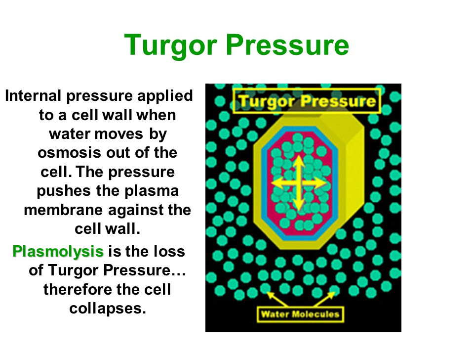 Turgor Pressure Internal pressure applied to a cell wall when water moves by osmosis out of the cell. The pressure pushes the plasma membrane against