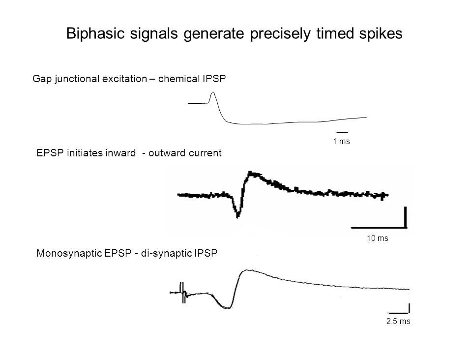 Biphasic signals generate precisely timed spikes Gap junctional excitation – chemical IPSP EPSP initiates inward - outward current Monosynaptic EPSP - di-synaptic IPSP 1 ms 2.5 ms 10 ms