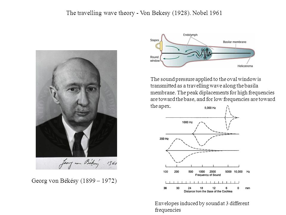 The travelling wave theory - Von Bekesy (1928). Nobel 1961 Georg von Békésy (1899 – 1972) Envelopes induced by sound at 3 different frequencies The so