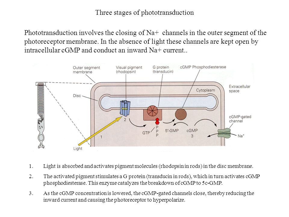 Three stages of phototransduction 1.Light is absorbed and activates pigment molecules (rhodopsin in rods) in the disc membrane. 2.The activated pigmen