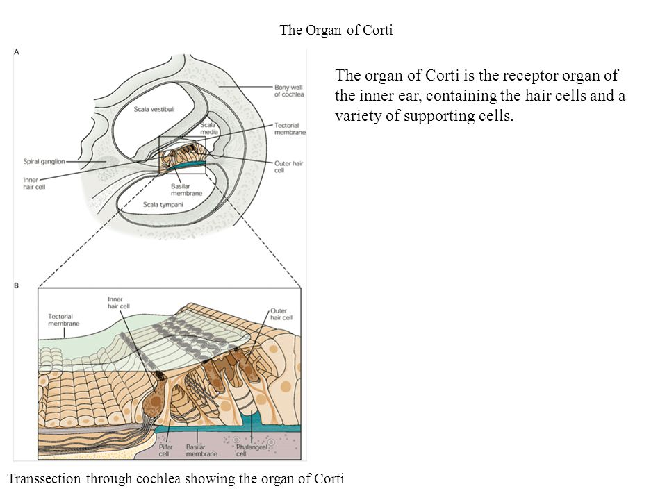 The Organ of Corti Transsection through cochlea showing the organ of Corti The organ of Corti is the receptor organ of the inner ear, containing the h