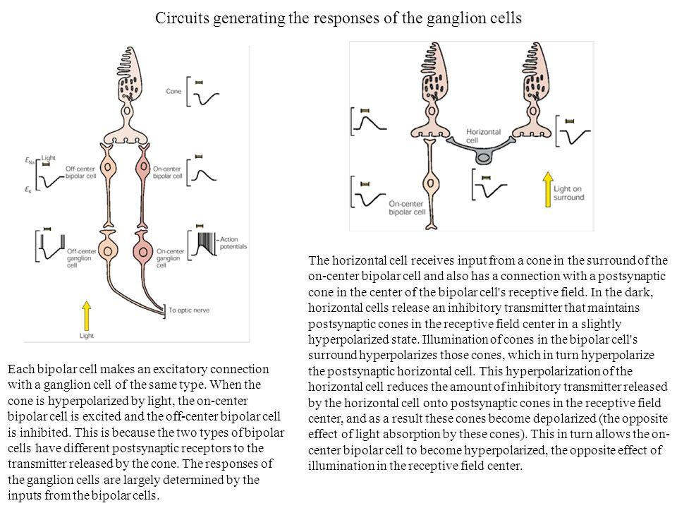 Circuits generating the responses of the ganglion cells The horizontal cell receives input from a cone in the surround of the on-center bipolar cell a