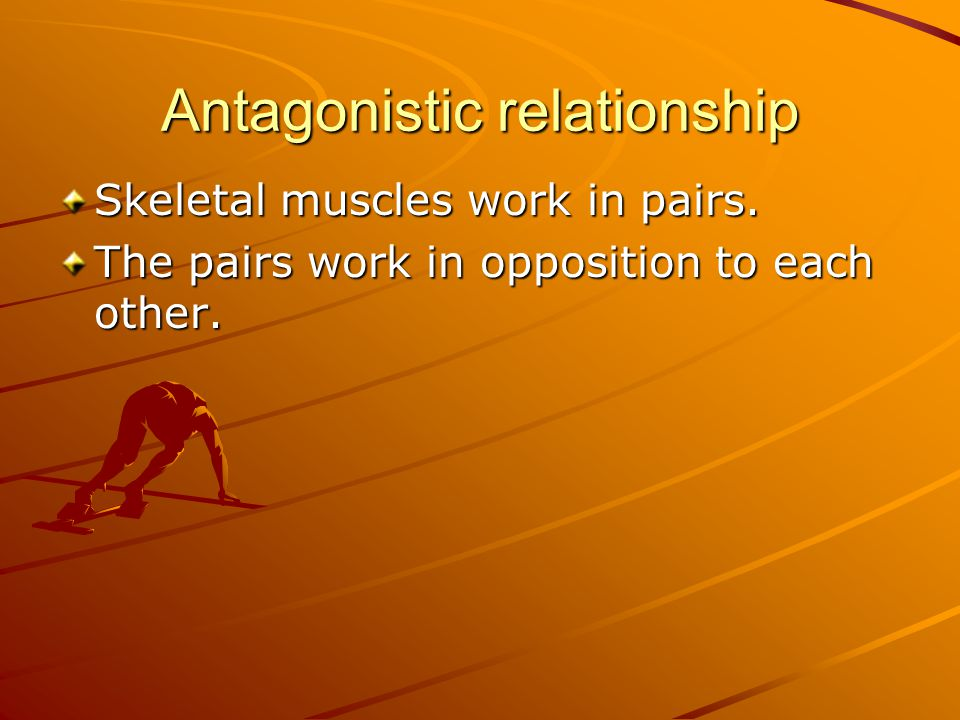 Antagonistic relationship Skeletal muscles work in pairs.