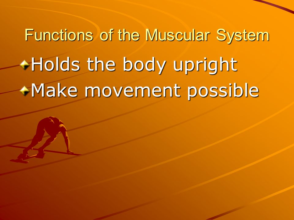 Functions of the Muscular System Holds the body upright Make movement possible Generates 85% of body heat