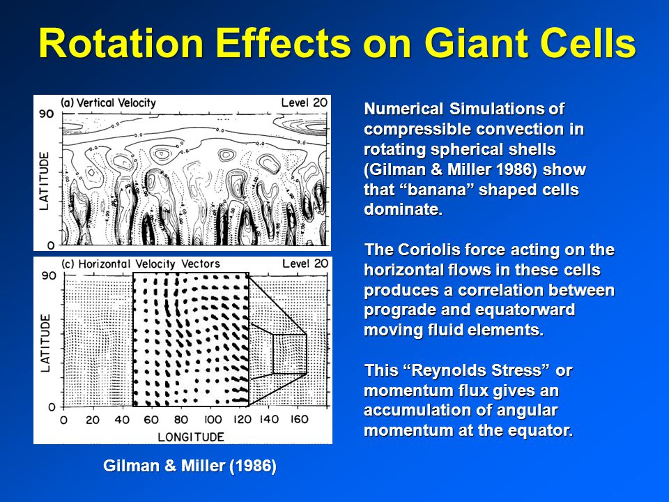 Rotation Effects on Giant Cells Numerical Simulations of compressible convection in rotating spherical shells (Gilman & Miller 1986) show that banana shaped cells dominate.