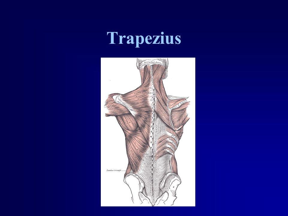 Trapezius