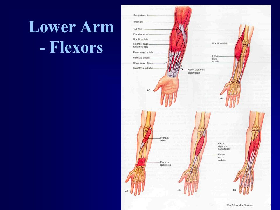 Lower Arm - Flexors