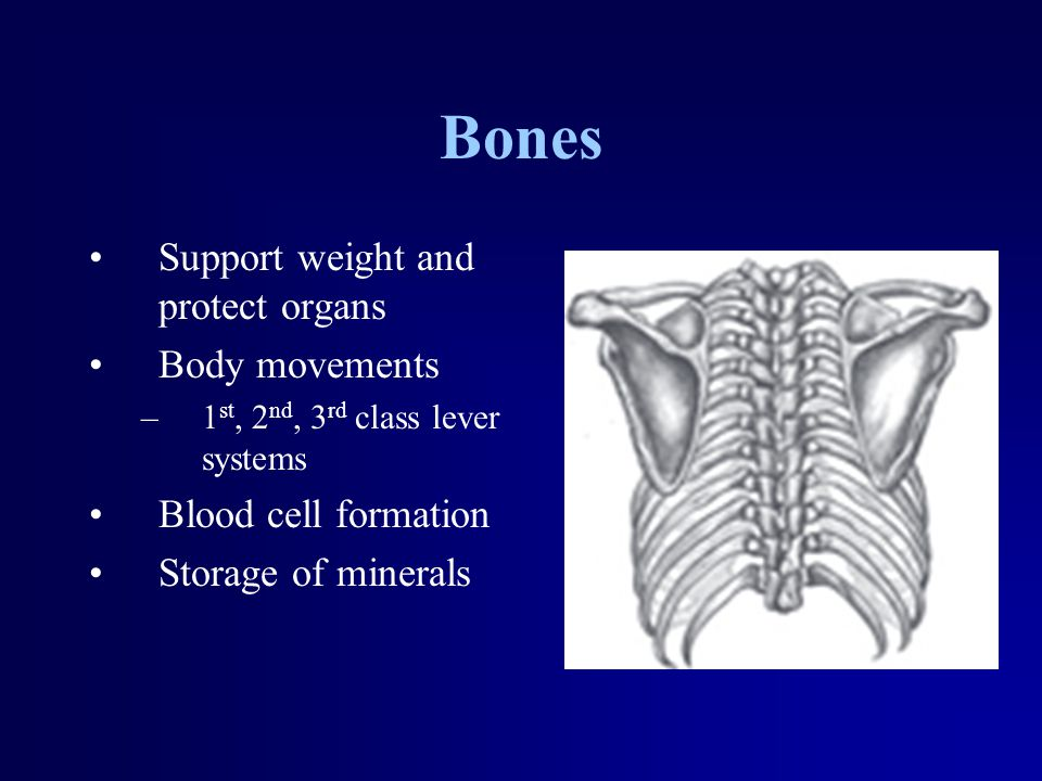Bones Support weight and protect organs Body movements –1 st, 2 nd, 3 rd class lever systems Blood cell formation Storage of minerals