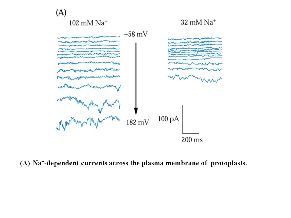 (A) Na + -dependent currents across the plasma membrane of protoplasts.