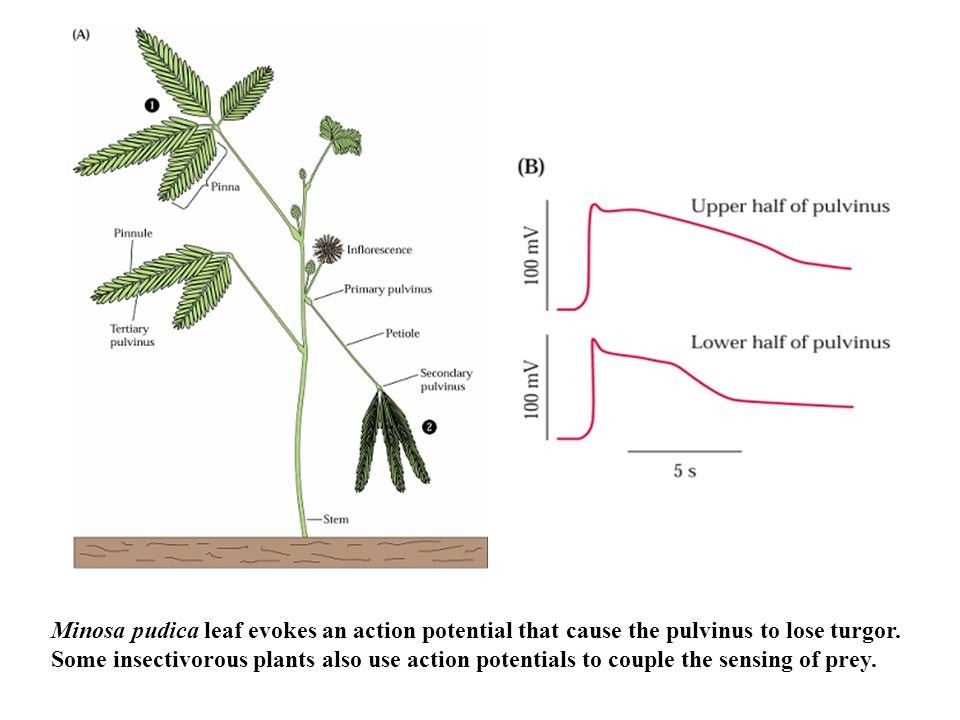Minosa pudica leaf evokes an action potential that cause the pulvinus to lose turgor. Some insectivorous plants also use action potentials to couple t