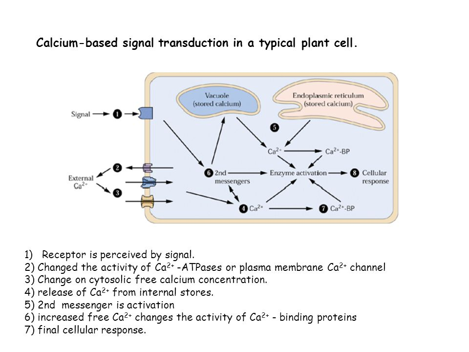 Calcium-based signal transduction in a typical plant cell. 1)Receptor is perceived by signal. 2) Changed the activity of Ca 2+ -ATPases or plasma memb