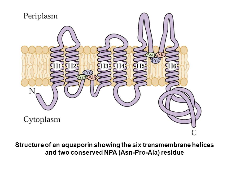 Structure of an aquaporin showing the six transmembrane helices and two conserved NPA (Asn-Pro-Ala) residue