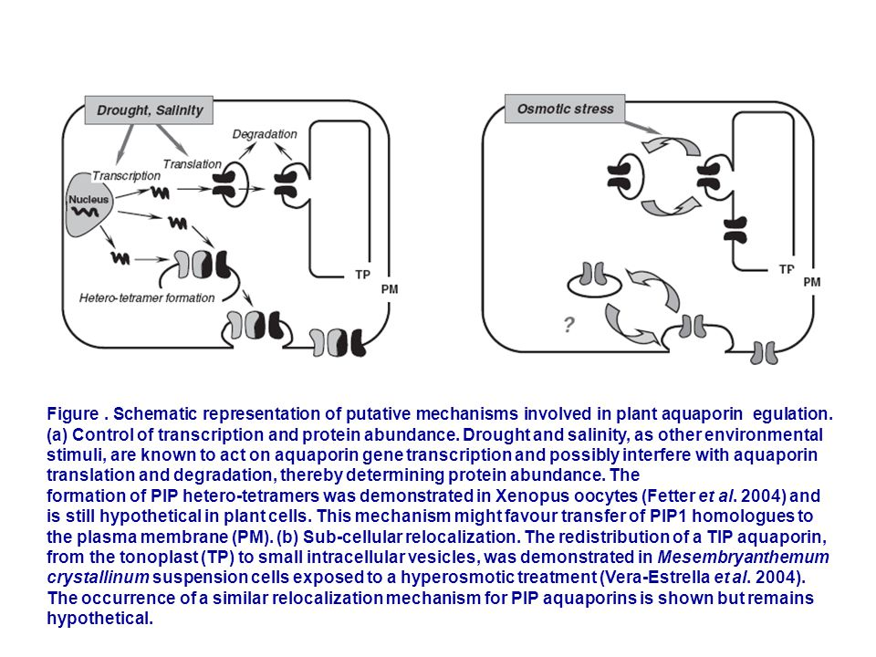 Figure. Schematic representation of putative mechanisms involved in plant aquaporin egulation. (a) Control of transcription and protein abundance. Dro