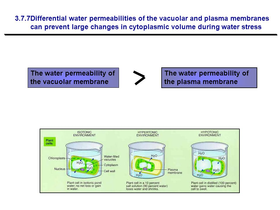 3.7.7Differential water permeabilities of the vacuolar and plasma membranes can prevent large changes in cytoplasmic volume during water stress The wa
