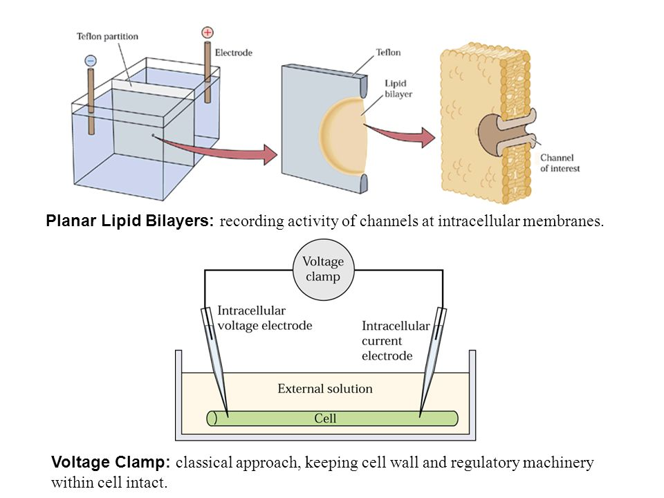 Planar Lipid Bilayers: recording activity of channels at intracellular membranes. Voltage Clamp: classical approach, keeping cell wall and regulatory