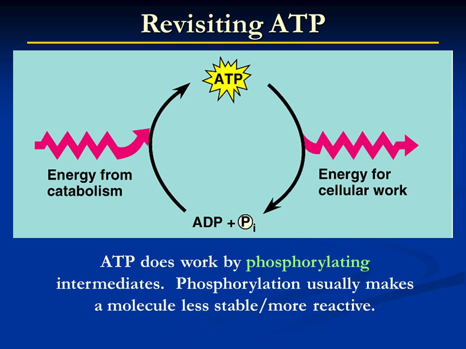 ATP does work by phosphorylating intermediates.