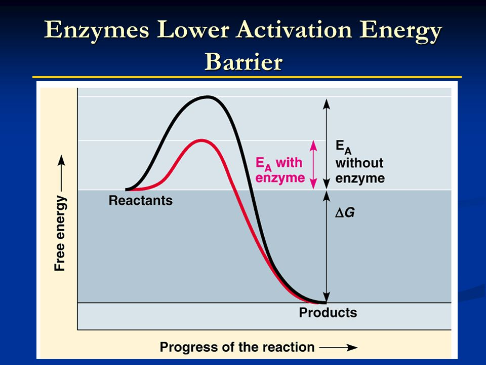 Enzymes Lower Activation Energy Barrier