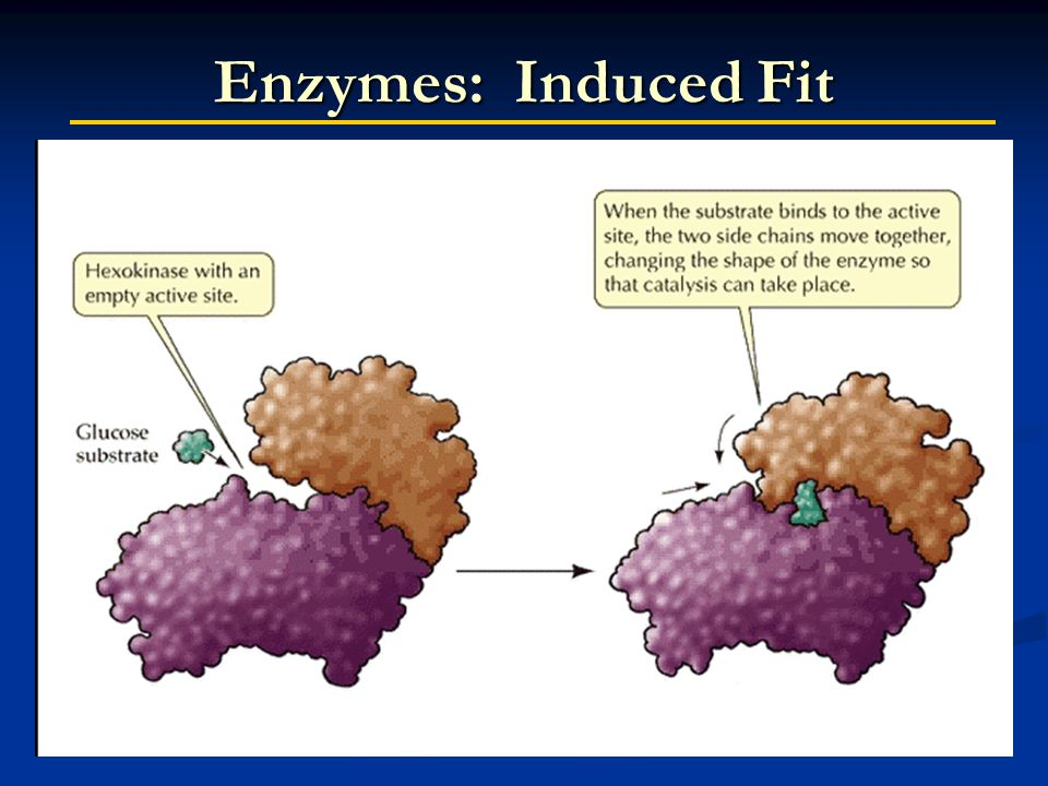 Enzymes: Induced Fit