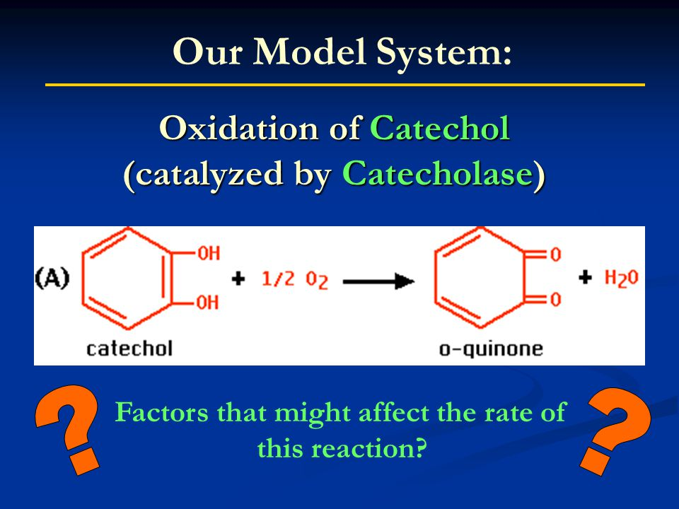 Oxidation of Catechol (catalyzed by Catecholase) Our Model System: Factors that might affect the rate of this reaction?