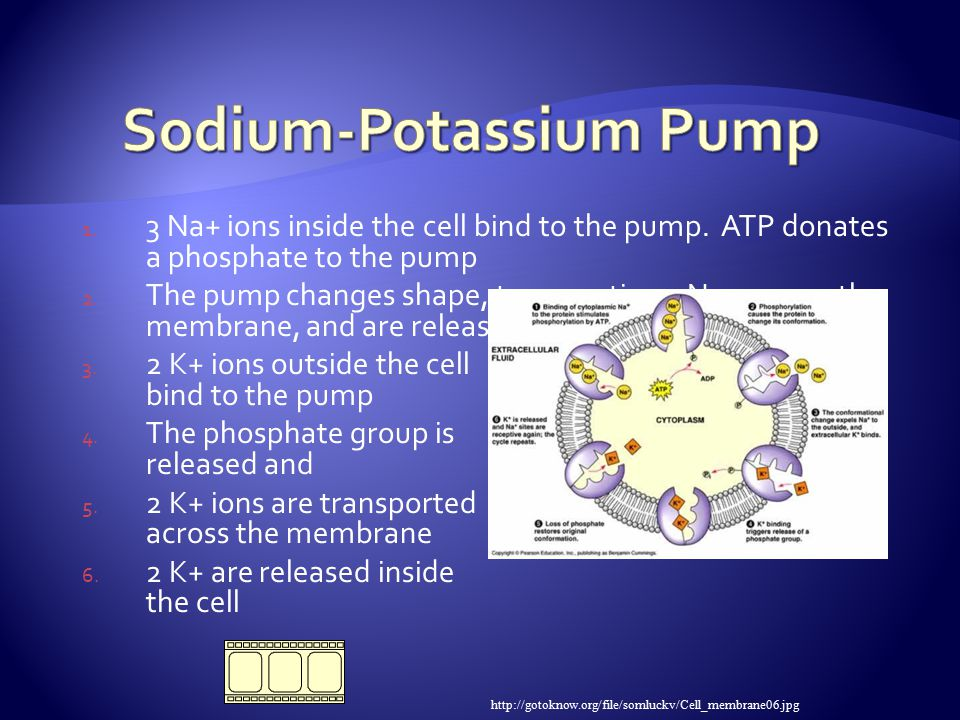 1. 3 Na+ ions inside the cell bind to the pump. ATP donates a phosphate to the pump 2.