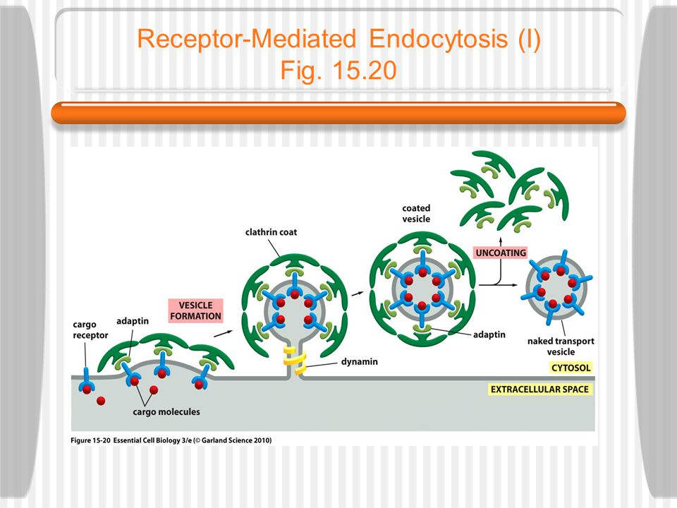 Receptor-Mediated Endocytosis (I) Fig. 15.20